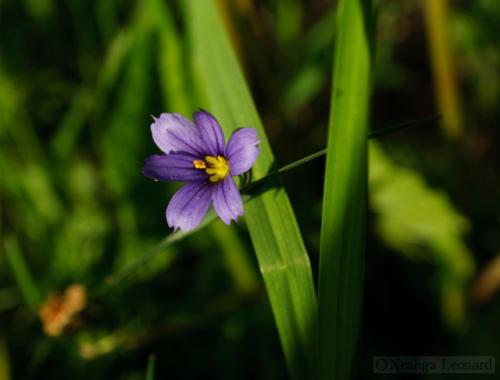 blue-eyed-grass-single-flower-006-wtr